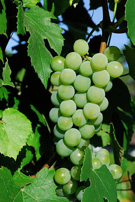 Fox Photograph - Cluster Of Unripe Concord Grapes Growing On The Vine In Full Sun by Reimar Gaertner