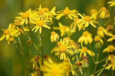 Photograph - Cluster Of Yellow by Bonfire Photography
