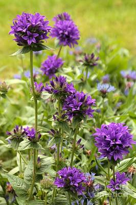 Photograph - Clustered Bellflower by Frank Townsley
