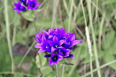 Photograph - Clustered Bellflower by Thomas M Pikolin