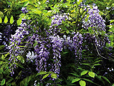 Photograph - Clusters Of Wisteria by Susan Savad