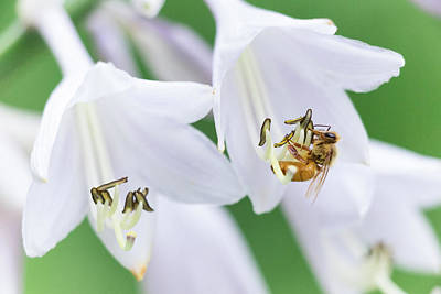 Photograph - Clutching Bee by Brian Hale