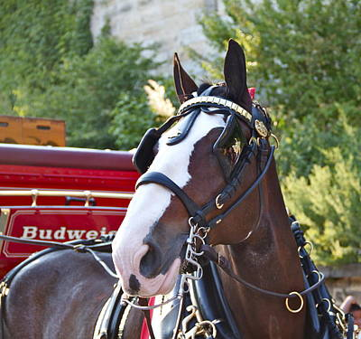 Photograph - Clydesdale At Esp by Alice Gipson