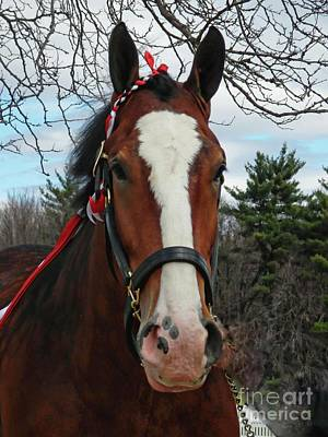 Photograph - Clydesdale Horse by Marcia Lee Jones