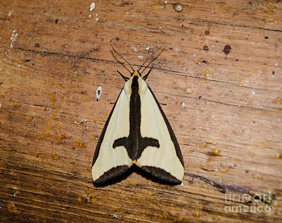 Mellow Yellow Rights Managed Images - Clymene Moth Royalty-Free Image by Donna Brown