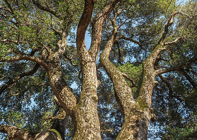 Photograph - Coast Live Oak Beauty by Alexander Kunz