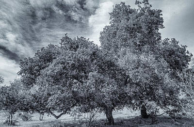Coast Live Oak Monochrome Art Print
