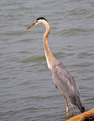 Photograph - Coastal Bend Crane by Kristina Deane