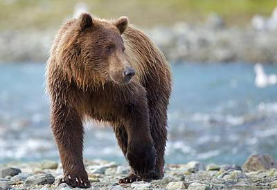 Photograph - Coastal Brown Bear by Brian Magnier