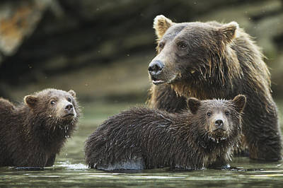 Nature Of Bear. Nature Of Bear In Water.grizzly Photograph - Coastal Brown Bear Spring Cubs  Ursus by Paul Souders