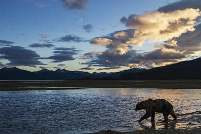 Nature Of Bear. Nature Of Bear In Water.grizzly Photograph - Coastal Brown Bear  Ursus Arctos  Walks by Paul Souders
