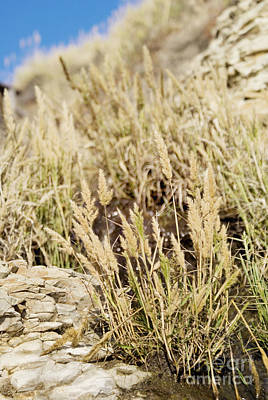 Photograph - Coastal Grasses by Cindy Garber Iverson