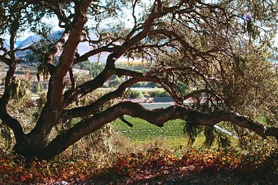Photograph - Coastal Oak by Gary Brandes