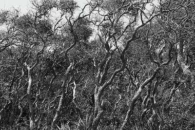 Photograph - Coastal Oaks by Paul Rebmann