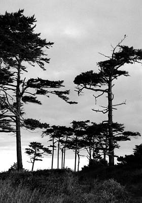 Digital Art - Coastal Pines by Timothy Bulone