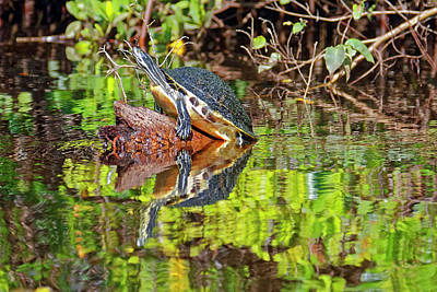 Photograph - Coastal Plain Cooter On Log by Sally Weigand