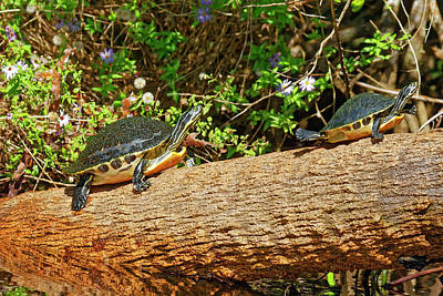 Photograph - Coastal Plain Cooters On Log by Sally Weigand