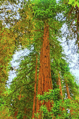 Photograph - Coastal Redwoods by John M Bailey
