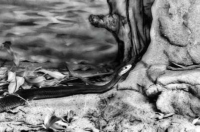 Photograph - Coastal Taipan by Miroslava Jurcik