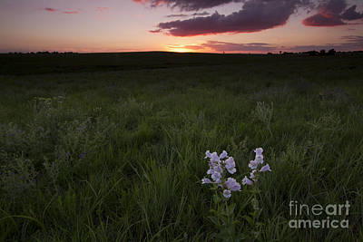Cobaea Beardtongue At Sunset Art Print by Kenneth M. Highfill