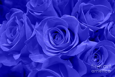 Photograph - Roses - Flower - Cobalt Velvet  by Kip Krause