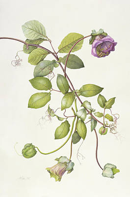 Violet Drawing - Cobea Scandens by Margaret Ann Eden