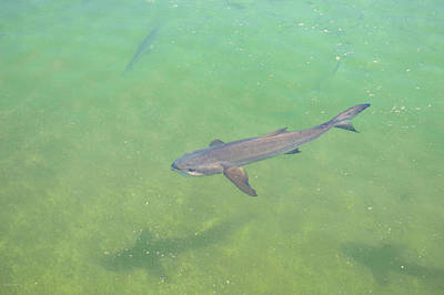 Billfish Photograph - Cobia 2 by Ken Figurski