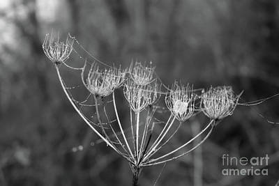 Photograph - Cobwebs On A Seedhead by Julia Gavin
