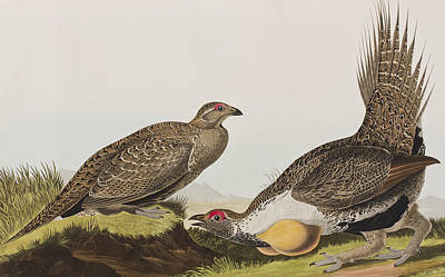 Two Tailed Drawing - Cock Of The Plains by John James Audubon