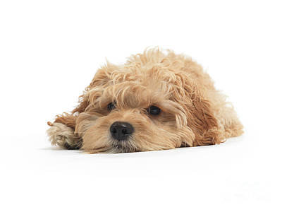 Cockapoo Dog Isolated On White Background Art Print by Oleksiy Maksymenko