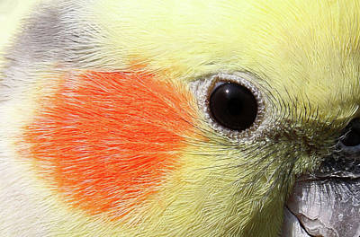 Photograph - Cockatiel - Close-up 02 by Pamela Critchlow