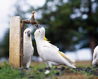 Cockatiel Photograph - Cockatiel Nymphicus Hollandicus by Panoramic Images