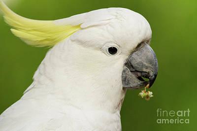 Photograph - Cockatoo Close Up by Craig Dingle