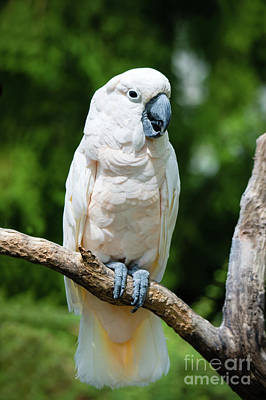 Photograph - Cockatoo by Ed Taylor