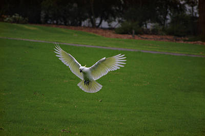 Photograph - Cockatoo In Flight by Cheryl Hall