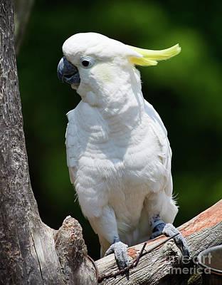 Photograph - Cockatoo by Jill Lang