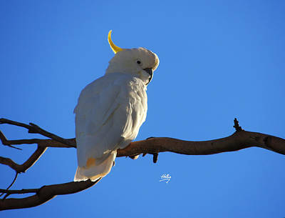 Photograph - Cockatoo by Linda Hollis