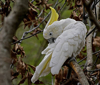 Cockatoo Photograph - Cockatoo by Odd Jeppesen