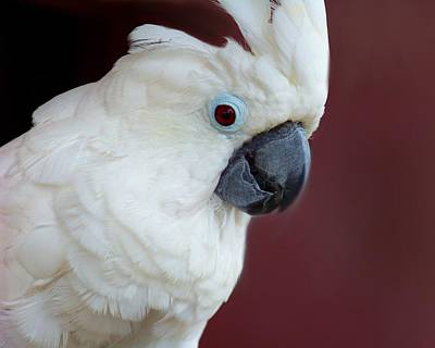 Photograph - Cockatoo Portrait by Jai Johnson