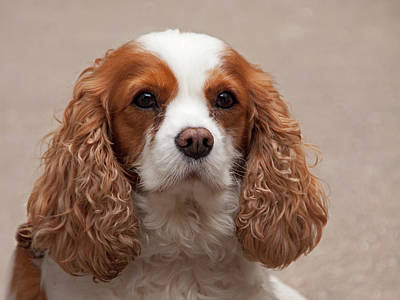 Photograph - Cocker Spaniel by Inge Riis McDonald