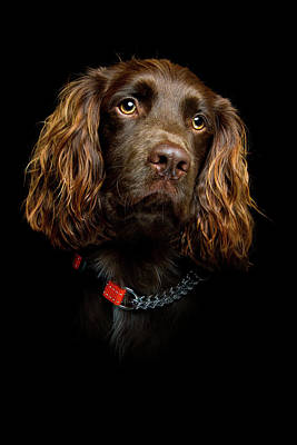 Cocker Spaniel Wall Art - Photograph - Cocker Spaniel Puppy by Andrew Davies