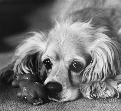 Cocker Spaniel With Dog Toy Art Print by Lynn Lennon