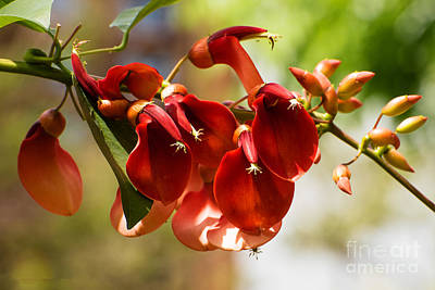 Photograph - Cockspur Coral Tree Flowers by MaryJane Armstrong