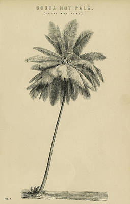 Drawing - Cocoa Nut Palm Cocos Nucifera by eGuam Image