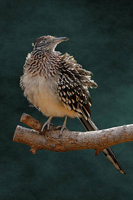 Photograph - Cocoa Puffed Cuckoo by Debi Dalio