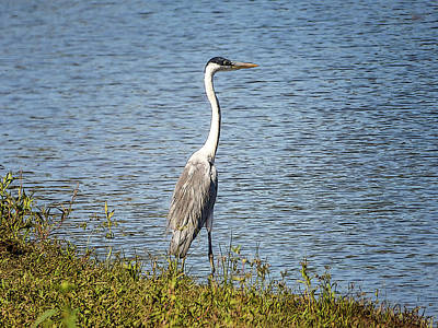 Photograph - Cocoi Heron By The River by Helissa Grundemann