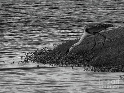 Photograph - Cocoi Heron Lake Side by Camille Pascoe