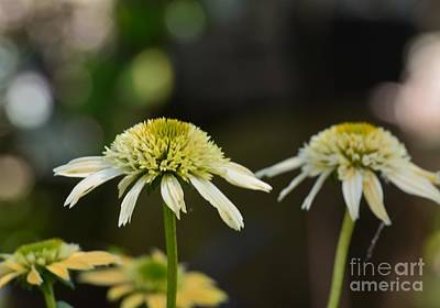 Photograph - Coconut Lime Echinacea by Maria Urso