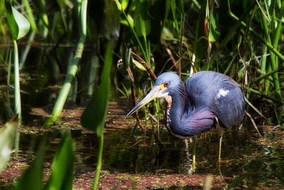 Bird Photograph - Coconut Marsh Heron by J Darrell Hutto