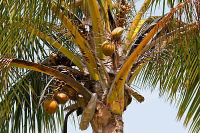 Photograph - Coconut Palm by Roger Mullenhour